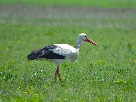 planos electricos: White Stork  Foto de archivo