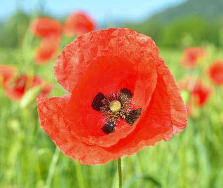common poppy, corn poppy, corn rose, field poppy, Flanders poppy, red poppy, red weed