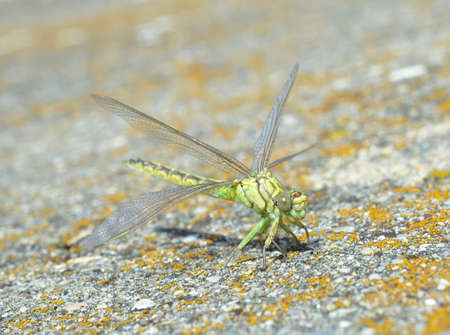 snaketail: Green dragonfly (Ophiogomphus cecilia) Stock Photo