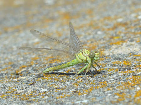 Green dragonfly (Ophiogomphus cecilia) Stock Photo