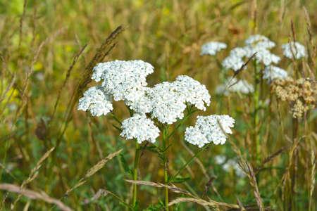 yarrow: Achillea millefolium, commonly known as yarrow