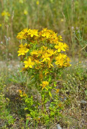 Hypericum flowers, Hypericum perforatum or St John's wort Stock Photo