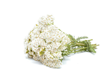 officinal: yarrow flowers isolated on white background Stock Photo