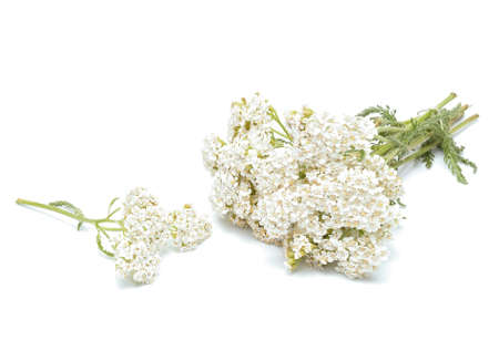 milfoil: yarrow flowers isolated on white background Stock Photo