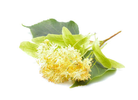 basswood: Linden (also known as lime and basswood) flowers