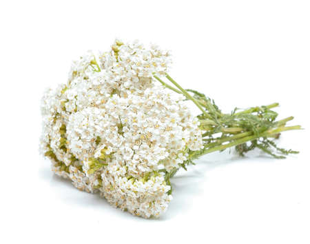 yarrow: yarrow flowers isolated on white background Stock Photo