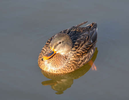 wildlife preserve: Wild duck is swimming in autumnal lake