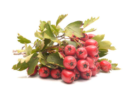 Hawthorn berries isolated on white background Stock Photo