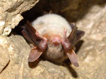 caving: Lesser mouse-eared bat (Myotis myotis)