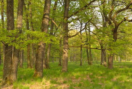 sprinftime: Spring oak forest in the mountains