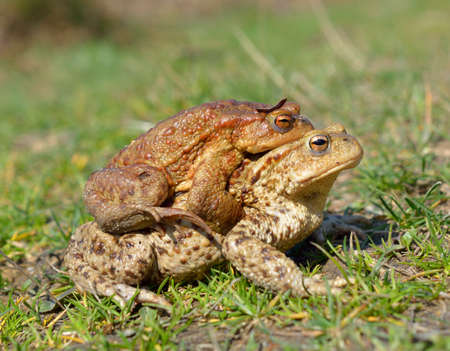 grey eyed: common toad bufo bufo
