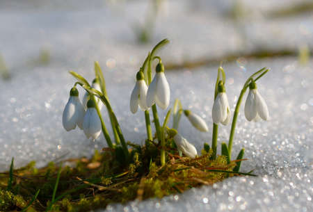 Gentle snowdrops flowering from the snow Stock Photo