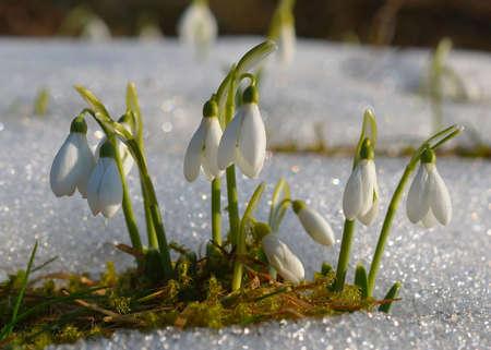 Spring snowdrop flowers with snow Stock Photo