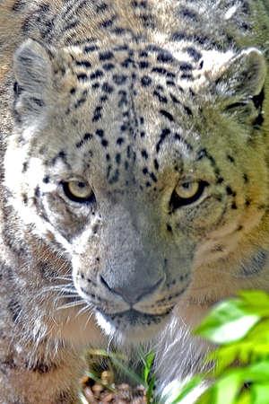 Leopard Фото со стока