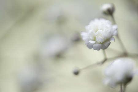 White flower Gypsophila