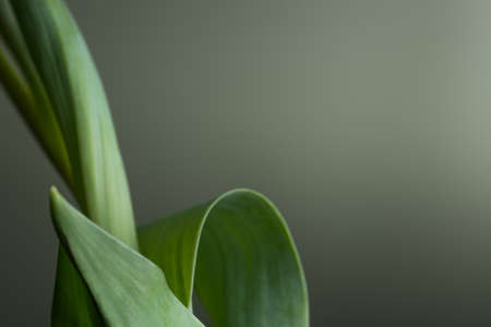Green background with light gradient framed with tulip leaves to left side Stock Photo