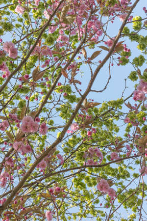 Branches of flowering Cherry Tree against bright blue sky