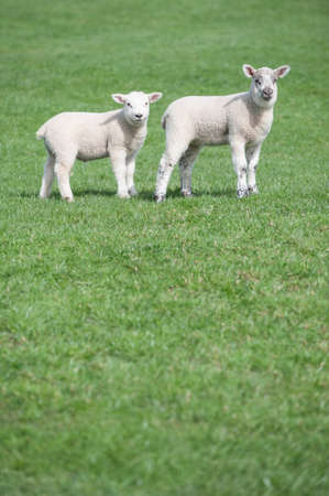 Two young lambs in field on farm in rural UK