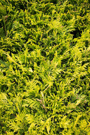 Conifer leaves  branches  evergreen foliage  vegetation