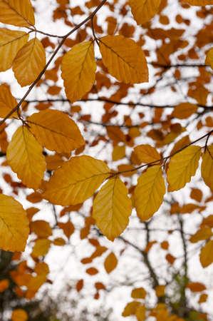 Beech tree Fagus with autumn leaves  fall foliage