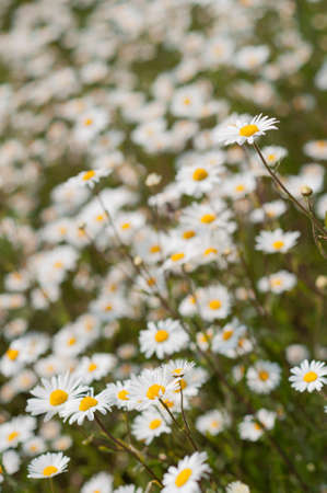 Yellow  white wild daisy flowers in meadow or garden with shallow depth of focus Stock Photo