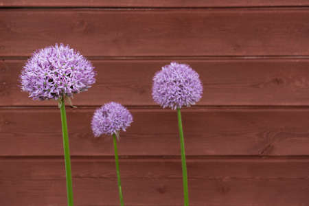 triplet: Three Ornamental Onion Allium flowers against timber board background Stock Photo