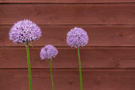 triplet: Three Ornamental Onion Allium flowers against timber board background Stock Photo