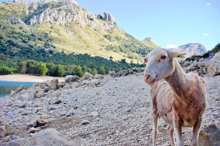 Curious sheep looking at the camera at Gorg Blau, on rocks outdoors in a mountain valley Stok Fotoğraf