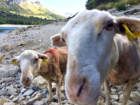 Curious sheeps looking at the camera at Gorg Blau, on rocks outdoors in a mountain valley