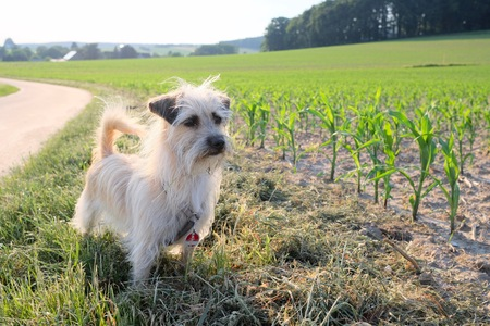 dog looking curiously at the camera on a young corn field at sunset in a scenic landscape conceptual of a summer seasons Stok Fotoğraf