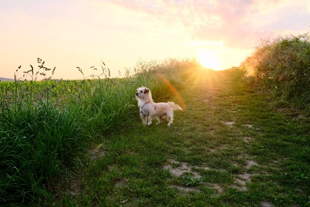dog looking curiously at sunset against the sun with beams of sunlight and a country field in a scenic landscape conceptual of a summer seasons