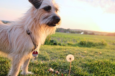 dog looking curiously at a dandelion at sunset against the sun with beams of sunlight and a country field in a scenic landscape conceptual of a summer seasons