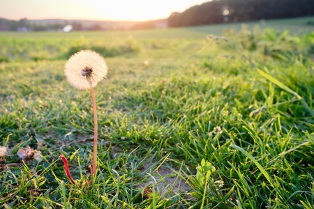 dandelion at sunset against the sun with beams of sunlight and a country field in a scenic landscape conceptual of a summer seasons