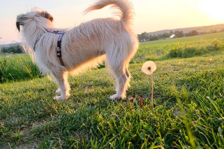 dog looking curiously with a dandelion at his back at sunset against the sun with beams of sunlight and a country field in a scenic landscape conceptual of a summer seasons