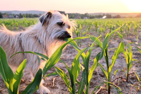 dog nibbling at a corn field at sunset against the sun with beams of sunlight and a country field in a scenic landscape conceptual of a summer seasons Stok Fotoğraf