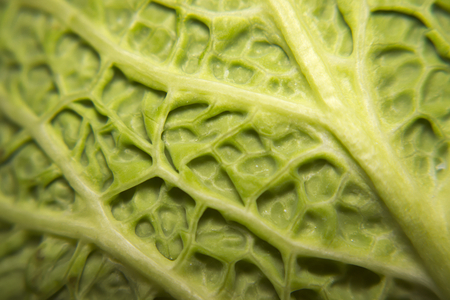 A macro view showing the outside of the leaf of a simple Savoy Cabbage. Reklamní fotografie