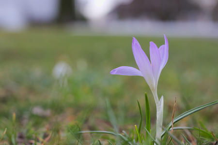 Single violet crocus growing in green grass.