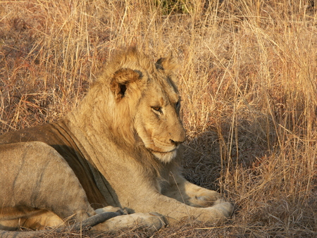 Lion nearly falling asleep while sitting in brown grass. Imagens