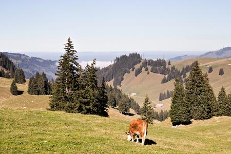 Cow grazing in green meadow.