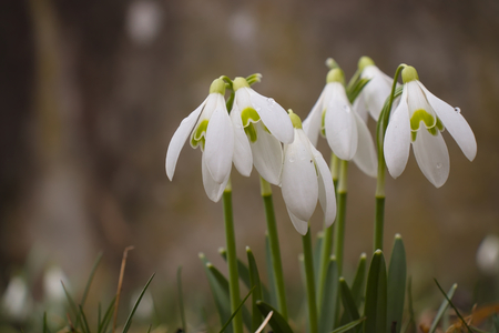 Group of snowdrops (Galanthus plicatus) growing in meadow. 写真素材