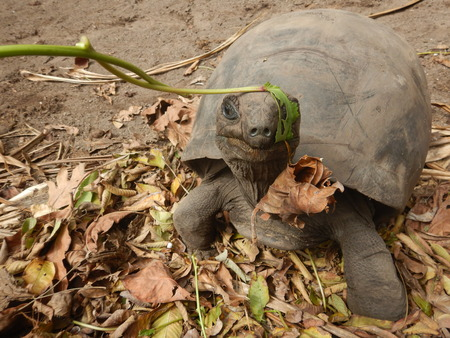Giant tortoise wearing green leaf in seychelles.