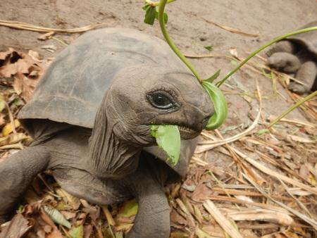 Giant tortoise eating green leaf in seychelles.