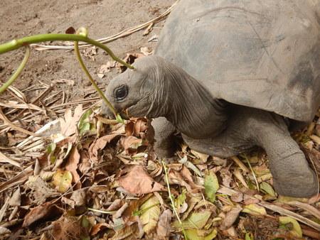Giant turtle in seychelles eating leaf.
