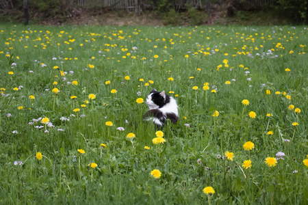 Black and white spotted longhaired cat in field of yellow dandelions.
