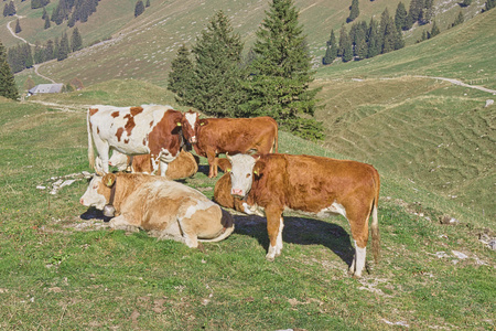 Group of cows in green meadow. 写真素材