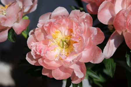 Close up of Pink peony blooming.