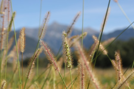 Reeds of grass with scenic view of mountains.