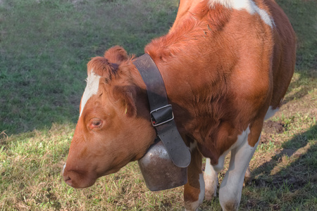 Brown Cow with bell in green meadow.