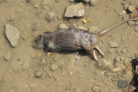 Dead rat lies on the river bank close up