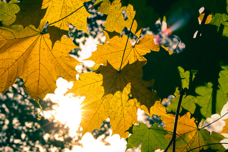 Yellow and Green autumn maple leaves. 写真素材